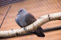Speckled pigeon aka columba guinea in zoo Stock Photos