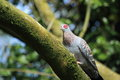 Speckled pigeon the on the tree Stock Photos