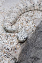 Speckled Rattel Snake Royalty Free Stock Images