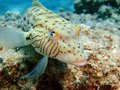 Speckled Sandperch Royalty Free Stock Image