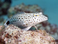 Speckled sandperch in red sea egypt hurghada Royalty Free Stock Images