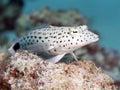 Speckled sandperch Royalty Free Stock Photo