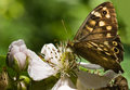 Speckled Wood Stock Images
