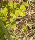 Speckled wood butterfly in dappled shade at base of hedgerow a sub species p a tircis rests the sunlight a this attractive flies Stock Photos