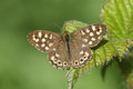 A Speckled Wood Butterfly Pararge aegeria perched on a bramble leaf. Royalty Free Stock Photo