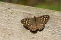 A Speckled Wood Butterfly Pararge aegeria perched on a fence. Royalty Free Stock Photo
