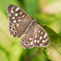 Speckled wood a macro shot of a butterfly sitting on a green leaf Royalty Free Stock Images