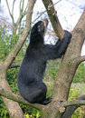 Spectacled Bear 13 Stock Image