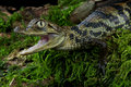 Spectacled caiman Royalty Free Stock Photos