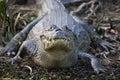 Spectacled caiman, Pantanal Royalty Free Stock Photo