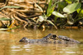 Spectacled Caiman Skulking Just Above Water Royalty Free Stock Photo