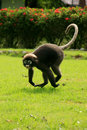 Spectacled langur running ang thong national marine park thail wua talap island thailand Stock Photo