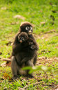 Spectacled langur sitting with a baby ang thong national marine wua talap island park thailand Royalty Free Stock Image