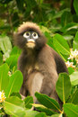 Spectacled langur sitting in a tree ang thong national marine p wua talap island park thailand Royalty Free Stock Image