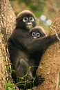 Spectacled langur sitting in a tree with a baby, Ang Thong Natio Royalty Free Stock Photos