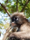 Spectacled langur trachypithecus obscurus close up the is also known as the dusky leaf monkey or leaf monkey they belong to the Royalty Free Stock Photography