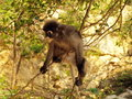 Spectacled langur trachypithecus obscurus on a tree the is also known as the dusky leaf monkey or leaf monkey they belong to the Royalty Free Stock Image