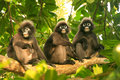 Spectacled langurs sitting in a tree ang thong national marine wua talap island park thailand Stock Images