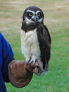 Spectacled owl, Stock Photo