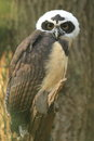 Spectacled owl the gazing juvenile of Royalty Free Stock Images
