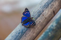 Spectacular butterfly encountered in Iguazu falls, Argentina Royalty Free Stock Photo