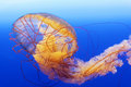 Spectacular jellyfish in blue sea Royalty Free Stock Photos