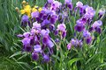 Spectacular purple iris in bloom in a garden Royalty Free Stock Photo