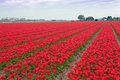 Spectacular White Red Tulips Bulb Field Stock Photography