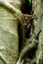 Spectral Tarsier, Tarsius spectrum, portrait of rare endemic nocturnal mammals, small cute primate in large ficus tree in jungle, Royalty Free Stock Photo