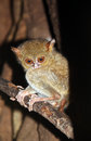 Spectral tarsier tarsius spectrum tarsius on a branch tangkoko national park north sulawesi indonesia Royalty Free Stock Photography