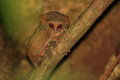 Spectral tarsier tarsius in sulawesi indonesia Royalty Free Stock Images