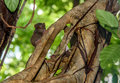 Spectral tarsier on tree in tangkoko national park north sulawesi indonesia Stock Image