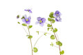 Speedwell veronica wild flowers and foliage isolated against white Royalty Free Stock Images
