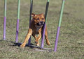Speedy dog american staffordshire bulterrier in the agility slalom Stock Images