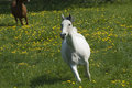 Speedy white horse Royalty Free Stock Photo