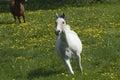 Speedy white horse Royalty Free Stock Photo