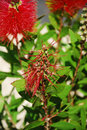 Spent bottlebrush flower a callistemon citrinus also known as a a shrub species from the myrtaceae family Royalty Free Stock Photos