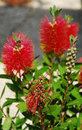 Spent bottlebrush flower a callistemon citrinus also known as a a shrub species from the myrtaceae family Stock Photography