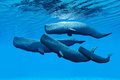 Sperm whale family a swim together and share a close bond between them Royalty Free Stock Image