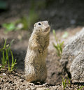 Spermophilus Royalty Free Stock Photo