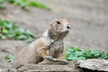 Spermophilus citellus european ground squirrel Stock Photo