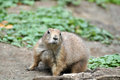 Spermophilus citellus european ground squirrel Stock Photography