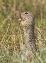Spermophilus citellus european ground squirrel feeding on seeds Stock Images