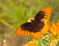 Speyeria diana, Diana butterfly Royalty Free Stock Images