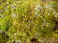 Sphagnum Royalty Free Stock Photo