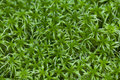Sphagnum background green forest macro Royalty Free Stock Photo