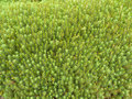 Sphagnum Moss Royalty Free Stock Photography