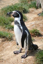 Spheniscus humboldti penguin Stock Images