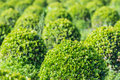 Spherical boxwood bushes close detailed sight on shrubs in a specilized plant nursery Stock Photos