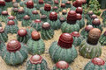 The spherical cactus in desert Stock Images